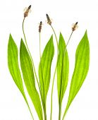 pic of ribwort  - ribwort plantain isolated on a white background - JPG