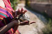 foto of testudo  - Testudo hermanni Mediterranean tortoise in the hands of a girl in Mallorca Spain - JPG