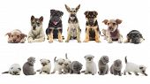 image of puppy kitten  - set of puppies and kittens on a white background - JPG