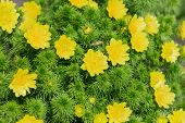 foto of adonis  - Bright yellow flowers of Adonis spring on the background of greenery close - JPG