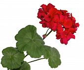 picture of geranium  - The red bloom from a geranium with leaves isolated on white background - JPG