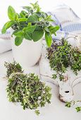 picture of oregano  - Fresh green herbs  - JPG