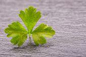 picture of italian parsley  - Parsley Top  - JPG