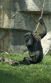 picture of tarzan  - Gorilla baby swinging on a rope like Tarzan - JPG