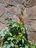 foto of ivy vine  - Wall of the old stone decorated with green vine of wild grapes - JPG