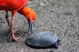 stock photo of scarlet ibis  - Beautiful Scarlet Ibis playing with a turtle  - JPG