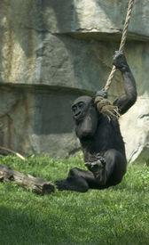 stock photo of tarzan  - Gorilla baby swinging on a rope like Tarzan - JPG