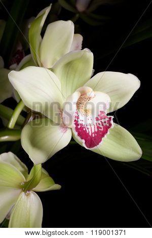 Orchids Flowers (cymbidium Sp)