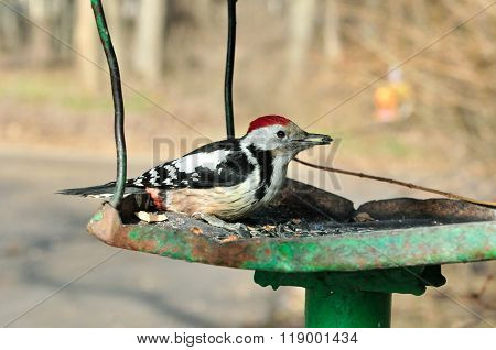 White-backed male woodpecker
