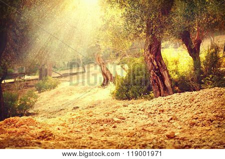 Olive trees garden. Mediterranean olive orchard with old olive tree. Vintage toned rural scene