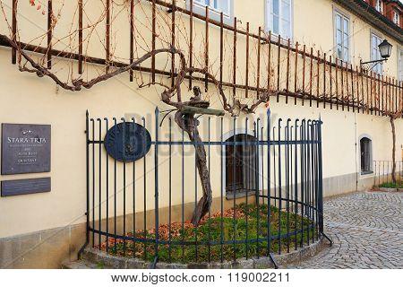 Oldest vine in the world in Maribor Slovenia.