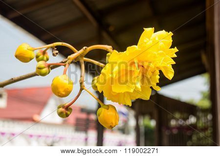 Yellow Silk Cotton (cochlospermum Religiosum) Flower Buds