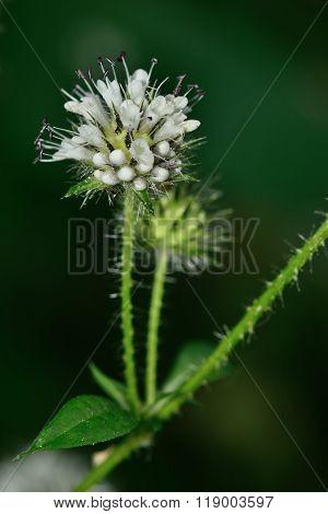 Small teasel (Dipsacus pilosus)