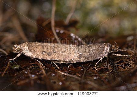Agonopteryx Heracliana Micro Moths Mating