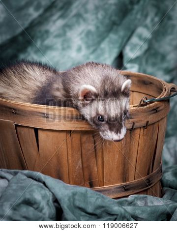 Ferret Looking Out From Basket.