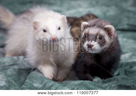 Cute Brown And White Ferrets.