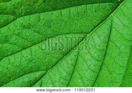 Macro Of Green Leaf.