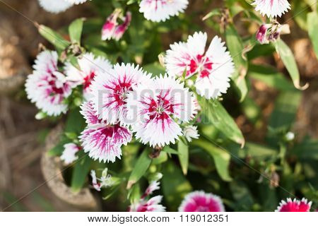 Beautiful White Flower In Garden