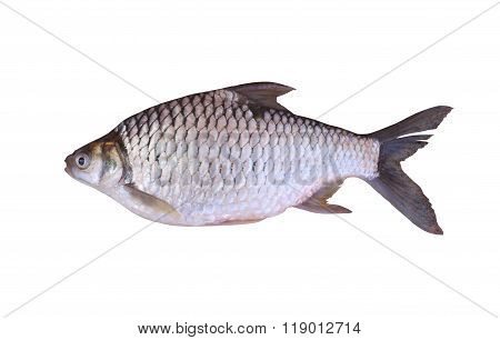 Cyprinidae Or Silver Barb Is In The Freshwater Fish On White Background.