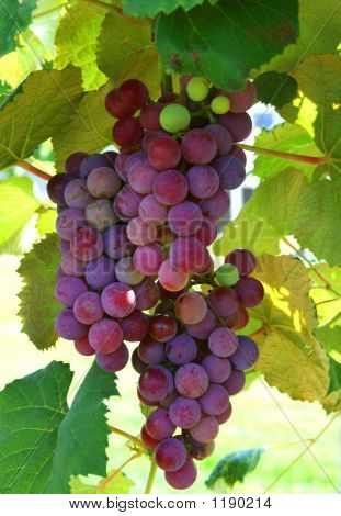 Plump Grapes On The Vine