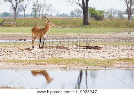 Red Lechwe Reflection