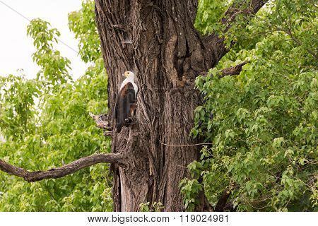 Fish Eagle Perched On Tree