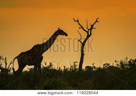 Giraffe In Kruger National Park, South Africa