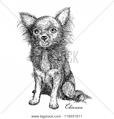 Chiwawa dog drawing sketch, vector illustration