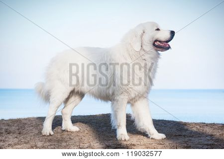 Polish Tatra Sheepdog. Role model in its breed. Also known as Podhalan or Owczarek Podhalanski