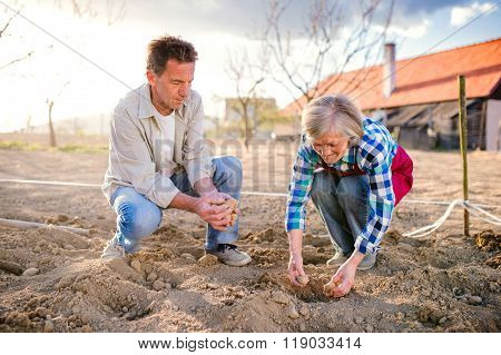 Senior couple in garden planting potatoes into the ground