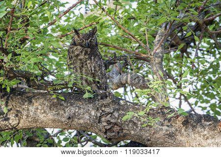 Spotted Eagle-owl In Kruger National Park, South Africa