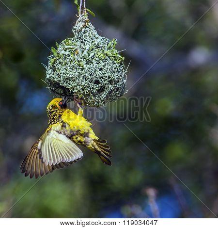 Village Weaver In Kruger National Park, South Africa