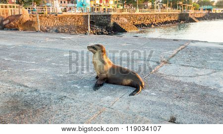 Sea lion near the beach in San Cristobal before sunset ,Galapagos