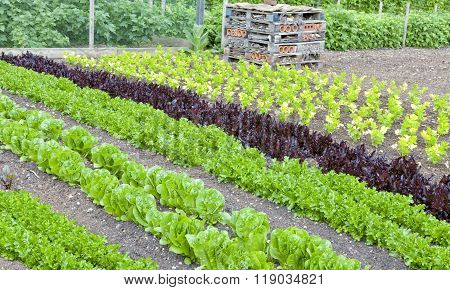 Lettuce salad celery growing in an allotment