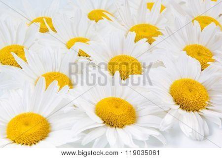 Beautiful white camomiles