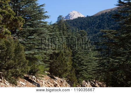 Lebanese Cedar Pinecone In The Forest In The Mountains