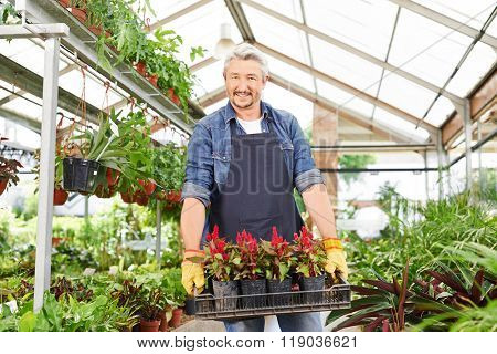 Happy gardener in a nursery shop carrying a crate of flowers (celosia)