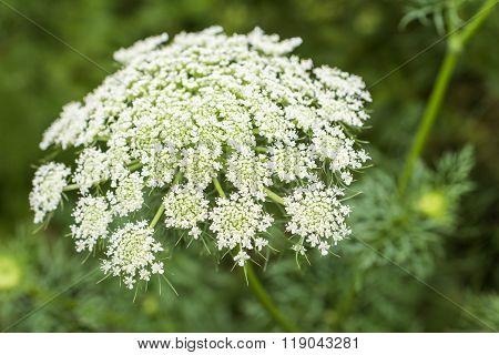 White carrot flowers