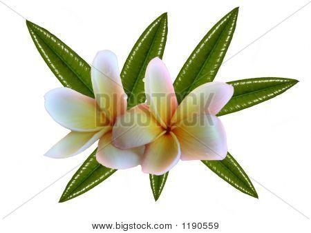 Frangipanis & Leaves