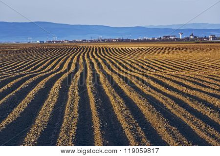 Furrows Rows In Potatoes Field