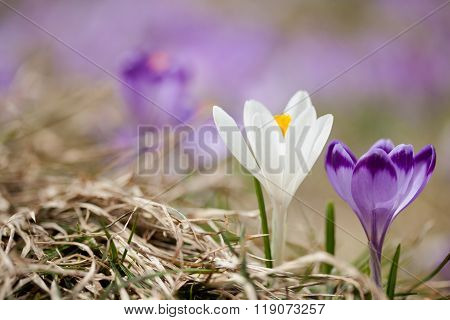 Beautiful crocus flowers in Tatry mountains