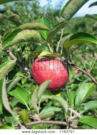 Apple On A Apple Tree