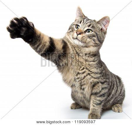 Cute Kitten Swinging Its Paw