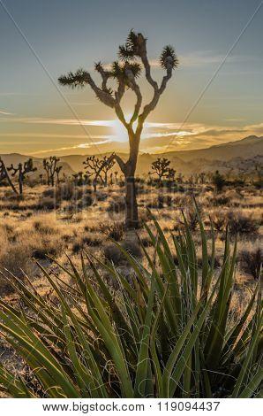 Yucca With Joshua Tree Sun Set Desert Scene