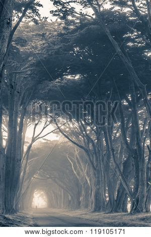 Scenic Foggy Trees Alley