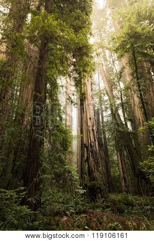 Tall Redwood Trees Scenery