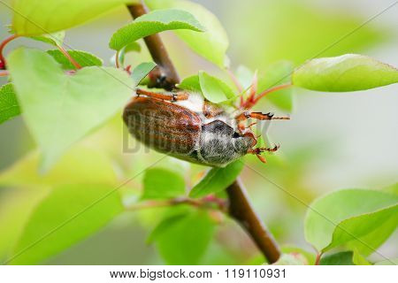 May Spring Beetle