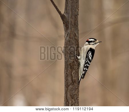 Downy Woodpecker Montreal.