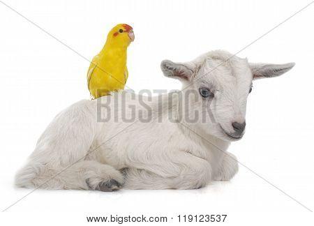 Red-fronted Kakariki Parakeet And Kid