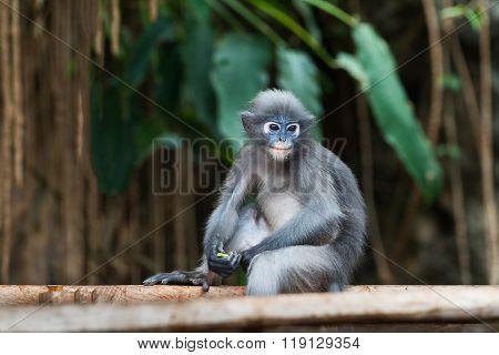 Dusky Leaf Monkey Spectacled Langur Trachypithecus Obscurus